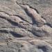 العثور على أثر لديناصور