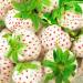 الفراولة البيضاء