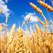 القمح الأوكراني
