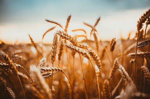 اوكرانيا تحتل المرتبة الثانية في العالم من حيث صادرات الحبوب