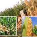 تباعد الصفوف على محصول الذرة