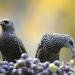 تعرف على اكثر الطيور ضررا لمزارع العنب