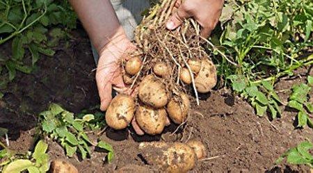 تغدية محصول البطاطس
