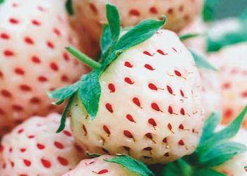 الفراولة البيضاء لا تحتوي على البروتين الذي يسبب الحساسية