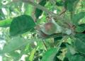 امراض التفاح وكيفية السيطرة عليها