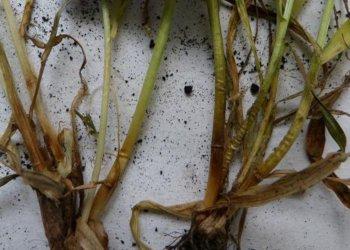 الاسمدة الكبريتية ودورها في الحفاظ على القمح الشتوي