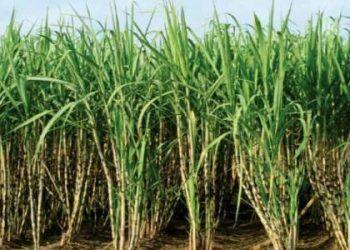 زراعة السكر الأبيض