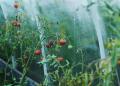 للمبتدئين حقائق يجب معرفتها حول زراعة الطماطم