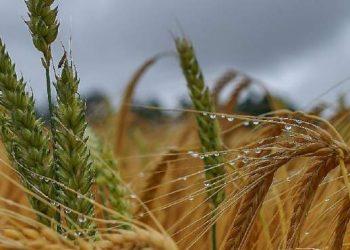 أوكرانيا تسعى لتحطيم رقم قياسي تاريخي في محصول الحبوب لهذا العام