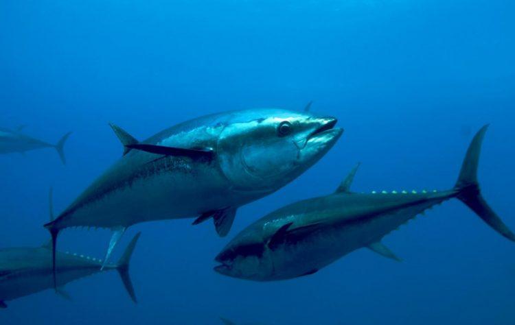 التونة الأطلسية زرقاء الزعانف