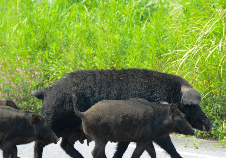 الخنازير البرية المشعة تدور حول بافاريا