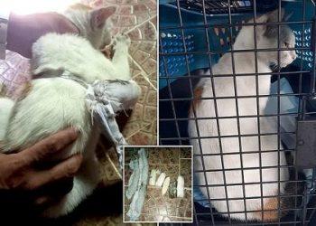 القبض على قط يهرب المخدرات في بنما