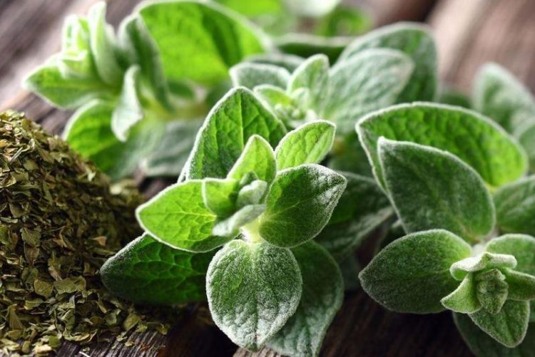 حقائق مثيرة للاهتمام عن النبات العطري المردقوش