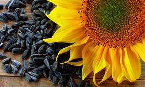 حظر تصدير بذور عباد الشمس من 15 مايو حتى 30 سبتمبر في أوكرانيا