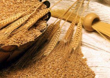 القمح الاوكراني