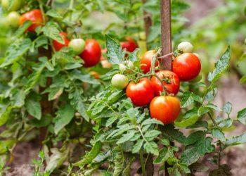 من أجل حصاد جيد من الطماطم عليك بتجهيز التربة أولا