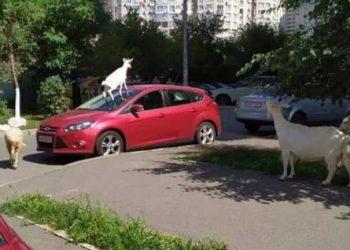 في كييف، صعدت ماعز بوقاحة إلى سيارة