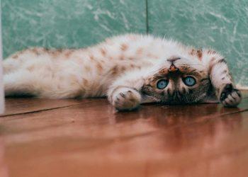 لماذا تقوم القطط بخدش الأرضية حول الوعاء وإلقاء الطعام خارجه